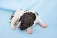 01.05.2012 * GBELCE * (SK) * 2 WEEKS OLD PUPPIES