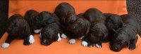 06.04.2019 * Gbelce * (SK) * 2 weeks old puppies