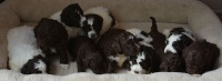 07.10.2017 * Gbelce * (SK) * 4 weeks old puppies